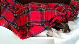 Spip de whippet onder zijn dekentje