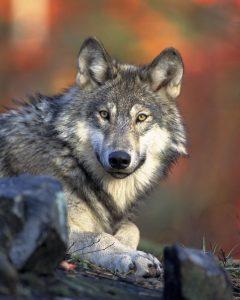 Wolf liggend Gary Kramer - Public domain