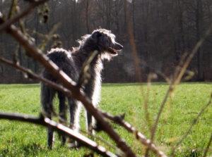 Ecosse de deerhound op de wei