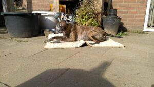 Spip de whippet in het zonnetje
